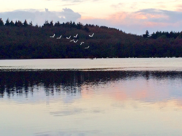 whooper swans over the loch